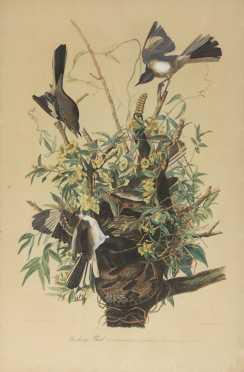 Mocking Bird, After JJ Audubon, elephant folio size