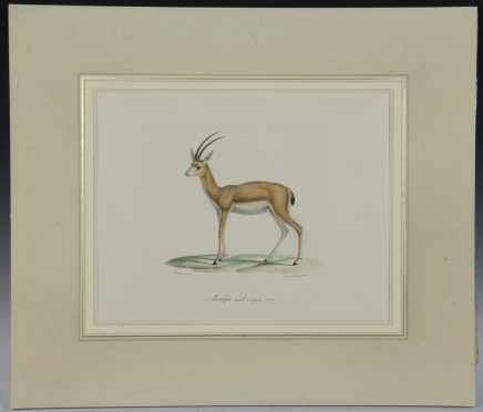 "Colored Lithograph ""Antelope Male, a Longes Cones"" from, ""The Histoire Naturelle des Mammiferes"""