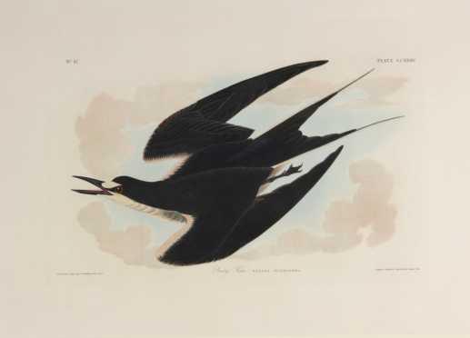 "John James Audubon ""Sooty Tern"", plate CCXXXV,Robert Havell, folio size"