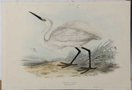 "Edward Lear, 1812-1888, hand colored lithograph ""Little Egret"""