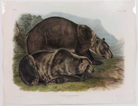 "John James Audubon, ""Grizzly Bear"" hand colored lithograph, plate #131 Bowen Edition"