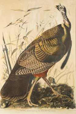 Wild Turkey Colored Lithograph After JJ Audubon