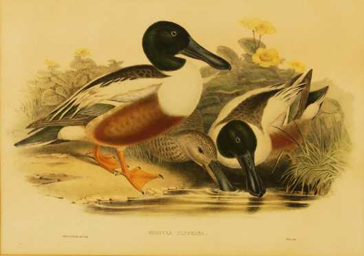 Hand Colored Crayon Lithograph of two spoon billed Drake