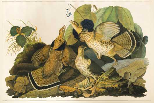 "After John J. Audubon, Julius Bien Edition, ""Ruffed Grouse"""
