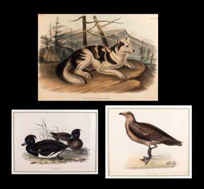 Three Hand Colored 19thC Bird and Animal Prints