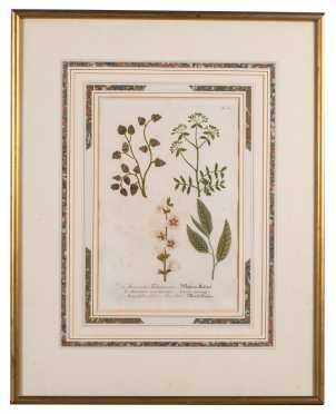 Botanical Print of Amomum