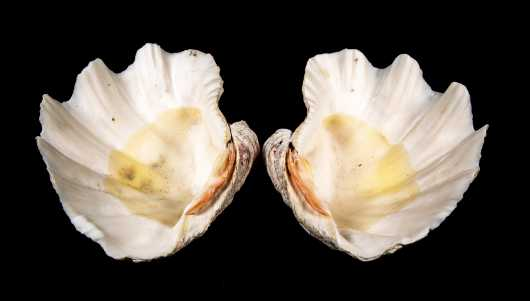 Pair of Clam Shells