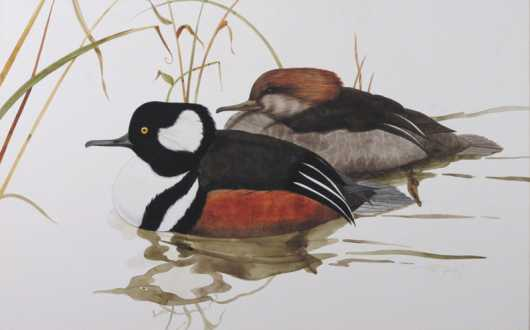 Ray Young, watercolor of a Hooded Merganser hen