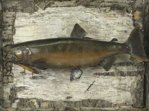 Rustic Lake Trout Shadow Box Mount