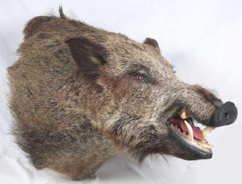 Wild NH Boar Trophy Mount