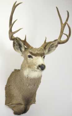 Trophy Buck Mount