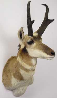 Prong Horn Antelope Trophy Mount